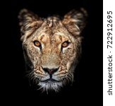 Portrait Of A Lioness On Black...