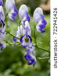 Small photo of Aconitum paniculigerum, Aconitum cammarum, aconite, monkshood, wolfs bane, leopards bane, mousebane, womens bane, devils helmet, Queen of all Poisons, blue rocket in bloom