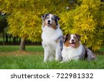 two australian shepherd dogs. | Shutterstock . vector #722981332