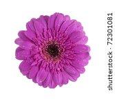 Purple Gerbera Daisy Blossom...