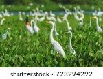 huge group of white egrets... | Shutterstock . vector #723294292