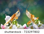 Beautiful Orchid Mantis Face T...