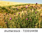 The Musk Thistle  Also Know As...