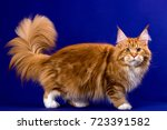 a pretty big maine coon cat... | Shutterstock . vector #723391582