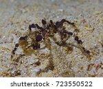 Small photo of Decorator Crab, Inachidae (Achaeus sp)