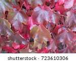 Small photo of Background or Texture of Autumnal Virginia Creeper or American Ivy Leaves (Parthenocissus quinquefolia) in Rural Devon, England, UK