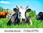 portrait of a cow lying on...   Shutterstock . vector #723613792