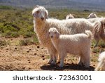 Angora Goat Mother With Her Ki...