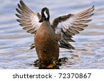 Blue Winged Teal Duck Flapping...