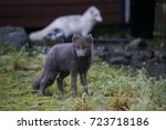 arctic fox   Shutterstock . vector #723718186