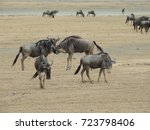 gnoe at ngorongoro national... | Shutterstock . vector #723798406