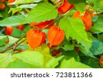 physalis plants or chinese... | Shutterstock . vector #723811366