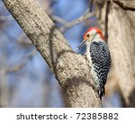 Red Bellied Woodpecker On Tree...