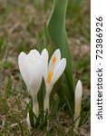 Close up of white spring crocus - stock photo