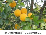 some tropical fruits on the... | Shutterstock . vector #723898522