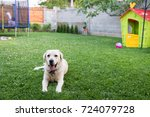 lovely dog in the backyard near ... | Shutterstock . vector #724079728