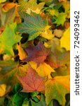 autumn maple leaves. bright...   Shutterstock . vector #724093462