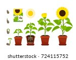 sunflower cartoon vector... | Shutterstock .eps vector #724115752