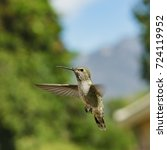 Small photo of Female Anna's Hummingbird hover in air, saw at Los Angeles, California, United States