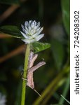 Small photo of grasshopper finished molting on flower