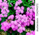 Small photo of Pink Floss Flowers or Bluemink, Blueweed, Pussy Foot, Mexican Paintbrush in Kiev. Ukraine. Its scientific name is Ageratum Houstonianum, native to central America