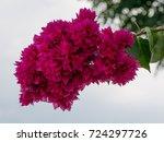 Bougainvillea Flowers Texture...