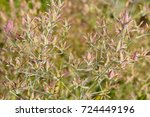 Small photo of Anticlea elegans or zigadenus elegans or mountain deathcamas or elegant camas or alkali grass green and pink plant