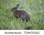 Hare Stood In A Grassy Field ...