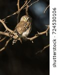 Small photo of African Barred Owlet, Glaucidium capense, in tree, Masai Mara Game Reserve, Kenya, Africa
