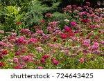 Wild Carnation Flower In The...