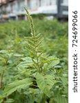 Small photo of Amaranth (Amaranthus viridis)