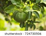 Green Mandarins Grow On Tree....