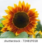 Flower Head Of A Sunflower ...