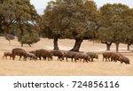 iberian pigs grazing among the... | Shutterstock . vector #724856116