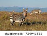 Cape Mountain Zebras Equus Zebra - Fine Art prints