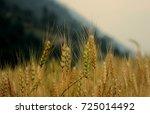 wheat farming   Shutterstock . vector #725014492