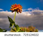 Small photo of Zinnia late afternoon