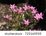 """lesser centaury"" flowers  or...   Shutterstock . vector #725165935"