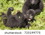 Baby Mountain Gorillas...