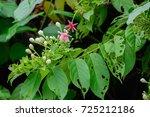 quisqualis indica  or ... | Shutterstock . vector #725212186