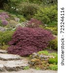 Small photo of Acer palmatum (Japanese Maple) in a Country Cottage Garden within The Lake District National Park, Cumbria, England, UK