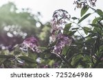 pretty pink flowers in natural... | Shutterstock . vector #725264986