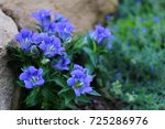 gentian   blue flower in rock... | Shutterstock . vector #725286976