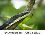 A Black Rat Snake Flicks Its...