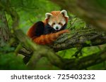 red panda lying on the tree... | Shutterstock . vector #725403232
