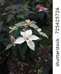 Small photo of White Christmas stars in greenhouse for sale. Background texture photo of Poinsettia flowers ( Euphorbia Pulcherrima ) , Star of Bethlehem