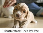 Stock photo working cocker spaniel puppy longing stare 725491492