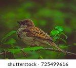 the house sparrow  passer... | Shutterstock . vector #725499616