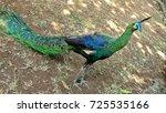 Small photo of Beautiful Peacock Portrait, Pavo, Afropavo, pheasant