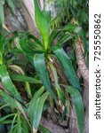 Small photo of leaf and tree trunk from yucca elephantipes agavaceae from mexiko and guatemala